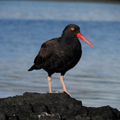 Black oystercatcher in Prince William Sound