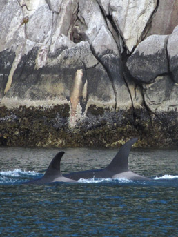 Prince William Sound Killer Whales